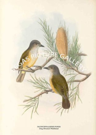 PACHYCEPHALOPSIS FORTIS - Grey-throated Thickhead